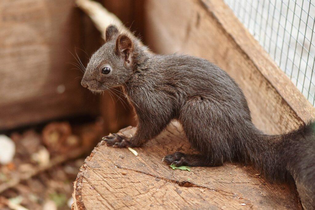 squirrel, rodent, wildlife