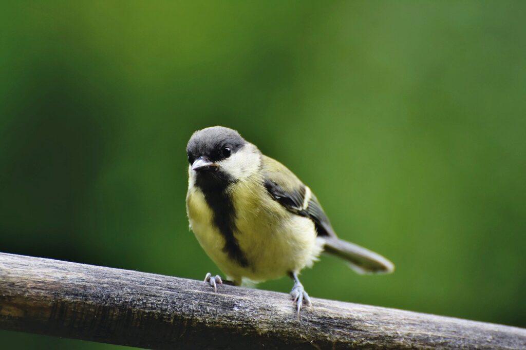 tit, songbird, small bird